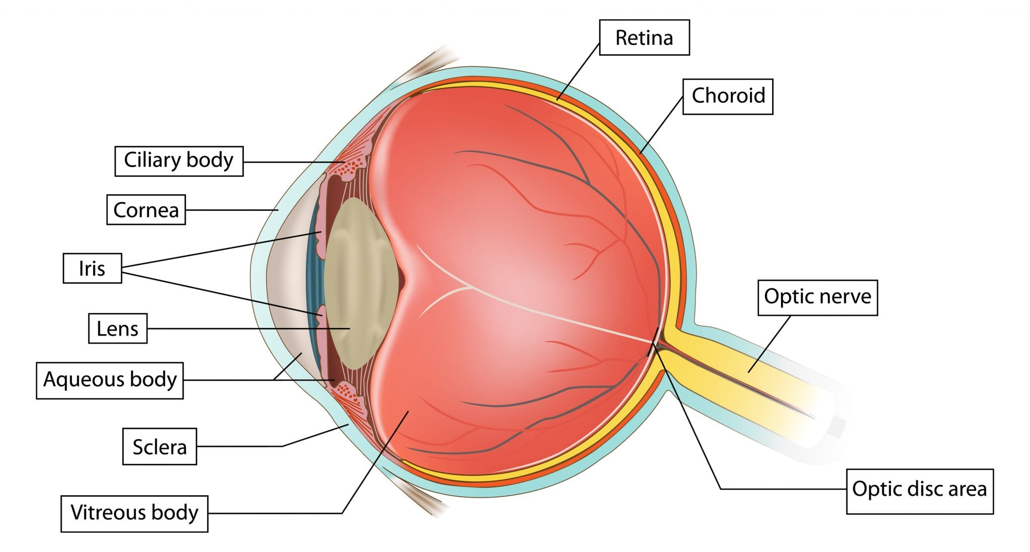 eye anatomy - optometrist in petaling jaya | optical shop ... eye diagram label foeva label eye diagram quiz #11